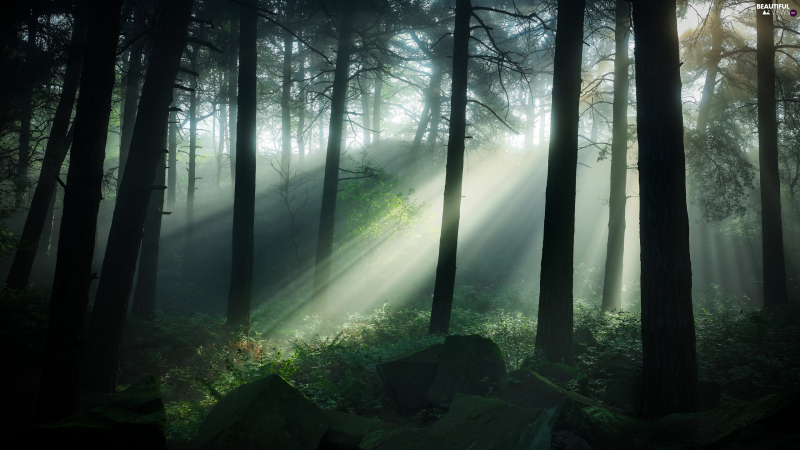 Viewes-trees-fog-through-light-breaking-forest