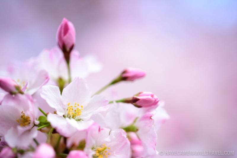Dc-cherry-blossom-watch-update-april-4-2018-02-copyright-havecamerawilltravel-com